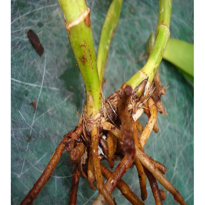 Cách chữa bệnh thối nhũn trên lan