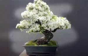 Cây bonsai là gì