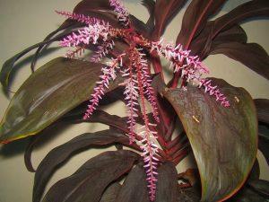 Hoa cây huyết dụ