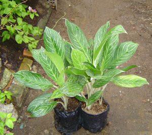 Cây Bạch Mã chuẩn bị đưa trồng chậu