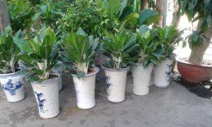 Người ta rất ưa chuộng loài cây này để trang trí nội thất