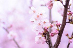 Cây Hoa anh đào (Sakura) không kén đất trồng