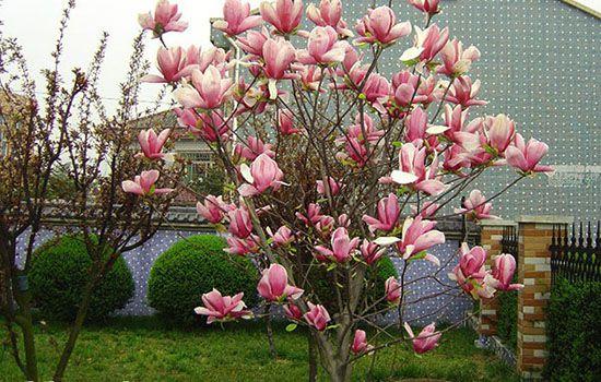 Hoa mộc lan mang lại tài lộc và hoa rất đẹp