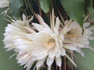 hoa quỳnh tượng trưng cho kiếp hồng nhan bạc mệnh, sớm nở, tối tàn, đẹp mà phận đời ngắn ngủi.