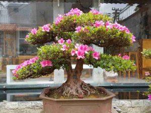 Chậu Cây hoa đỗ quyên bonsai đẹp
