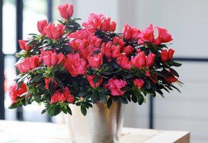 Hoa Đỗ Quyên có nhiều màu sắc khác nhau