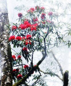 cây Đỗ Quyên để trang trí cho quang cảnh trong nhà, ngoài sân vườn rất đẹp và hiệu quả.