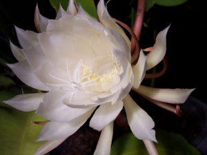 Cây hoa quỳnh còn có công dụng giúp thư giãn, giảm stress khi ngắm hoa thưởng trà.