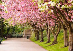 Dãy hoa anh đào ở Nhật Bản