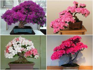Cây Đỗ Quyên bonsai