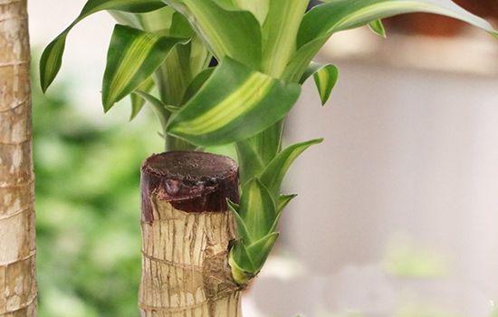 Thiết mộc lan trồng trước nhà giúp xua đi khí xấu