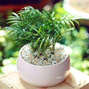 chăm sóc cây cau tiểu trâm khá đơn giản
