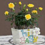 Cây hoa hồng vàng