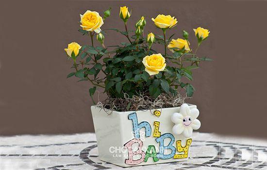 Cây hoa hồng vàng cũng là một cây hợp mệnh thổ