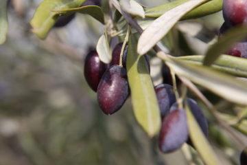 Cây oliu ở Việt Nam có trồng được không? Cần những điều kiện gì?