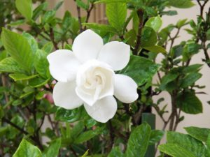 Hoa Bạch Thiên Hương trắng tinh khiết