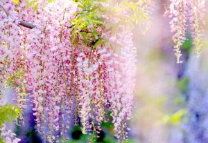 hoa tử đằng rất thiêng liêng và có ý nghĩa