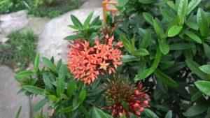 Hoa Mẫu Đơn Thái