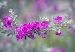 Cành hoa Tuyết sơn phi hồng