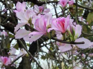 Hoa ban khoe sắc
