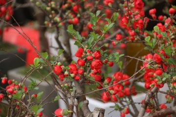Cây hoa mai đỏ ngày tết –  đặc điểm, ý nghĩa và cách chăm sóc