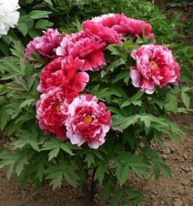 hoa Mẫu Đơn Trung Quốc lá xẻ thùy