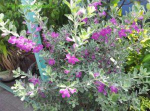 Hoa Tuyết sơn phi hồ màu tím rất bắt mắt