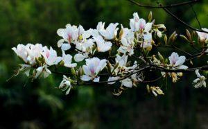Hoa ban rừng tây bắc