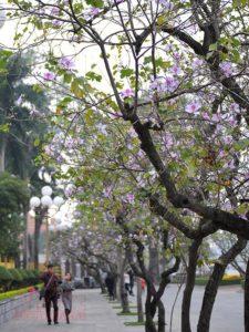 Hoa ban nở tại đường phố Hà Nội