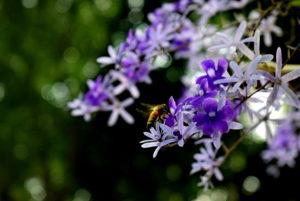 Chùm hoa Mai Xanh - còn được gọi là Hoa Đôi