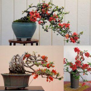 Hoa Mai Đỏ bonsai