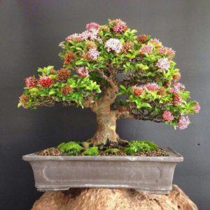 Cây hoa mẫu đơn bonsai
