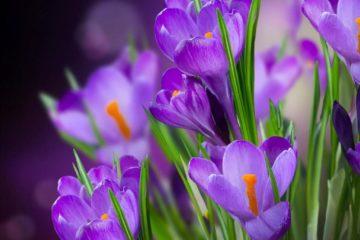 Hoa Nghệ Tây – Loài hoa đắt nhất thế giới và những điều cần biết