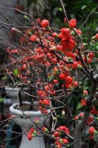 Hoa Mai Đỏ khoe sắc đúng dịp tết đến, xuân về