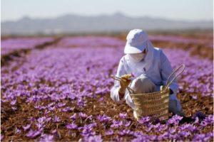 thu hoạch hoa Nghệ Tây