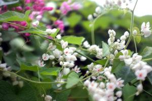 Hoa tigon có 2 loại màu trắng, màu hồng
