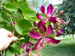 Hoa Móng Bò màu tím