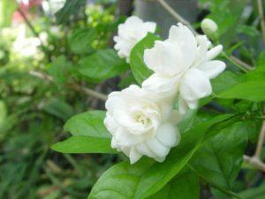 Hoa nhài có mùi hương cực kỳ cuốn hút