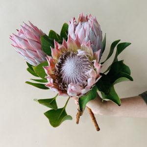 cây hoa Protea có sức sống rất mạnh mẽ