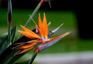 Hoa thiên điểu có hình thù giống đầu loài chim điểu