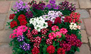 Cây hoa Vân Anh nhiều màu sắc