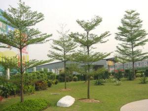 Bàng Đài Loan lá nhỏ, tán rất đẹp
