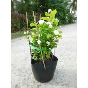 Hoa nhài dễ chăm sóc, sức sống rất tốt
