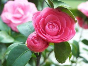 cây hoa Trà