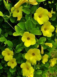 Chùm hoa Huỳnh Đệ vàng tươi tắn rất bắt mắt
