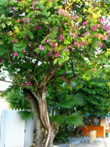 Cây Móng Bò là cây Hoa Ban Tím