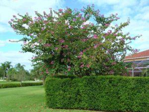 Cây móng bò được trồng và chăm sóc đúng cách tại vườn nhà