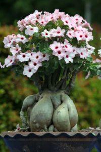 Rễ là bộ phận tạo nên khối bonsai đẹp của Sứ Thái