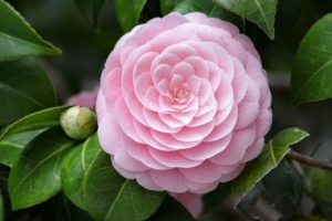 Hoa Trà đẹp thu hút và rất sang trọng