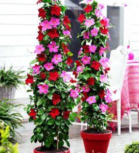 Hoa hồng anh trang trí rất nổi bật và cuốn hút